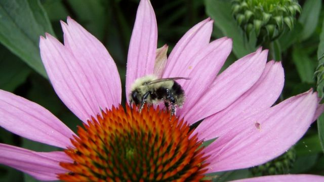 US wild bee numbers decline as land is converted for biofuel