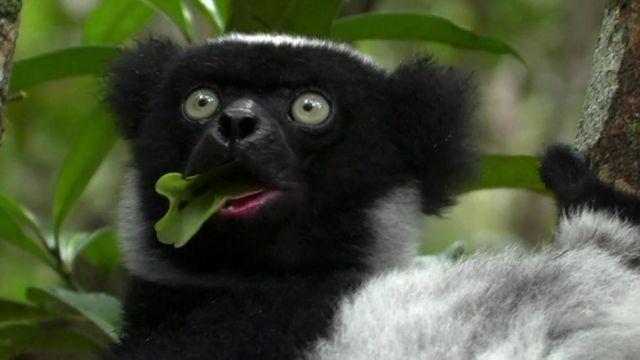 À Madagascar, l'habitat de l'indri est menacé par l'exploitation minière.