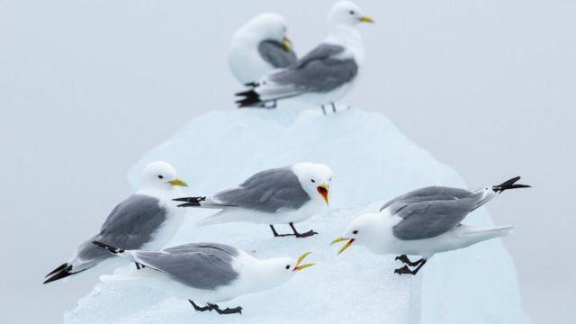 Gaviotas tridáctilas con patas negras sobre el hielo