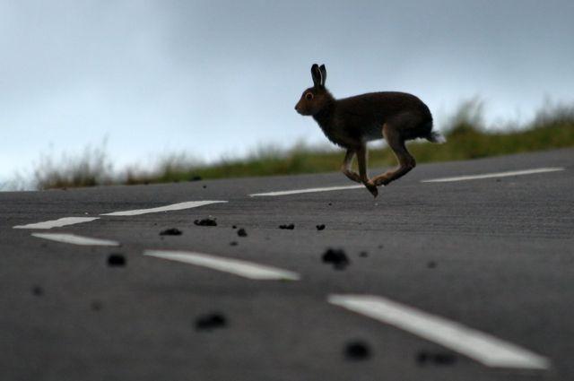 أرنب بري يقفز في الطريق