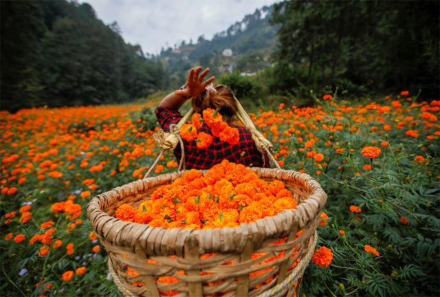 तिहारको लागि बेच्न काठमाण्डूमा सयपत्री फूल टिप्दै एक महिला।