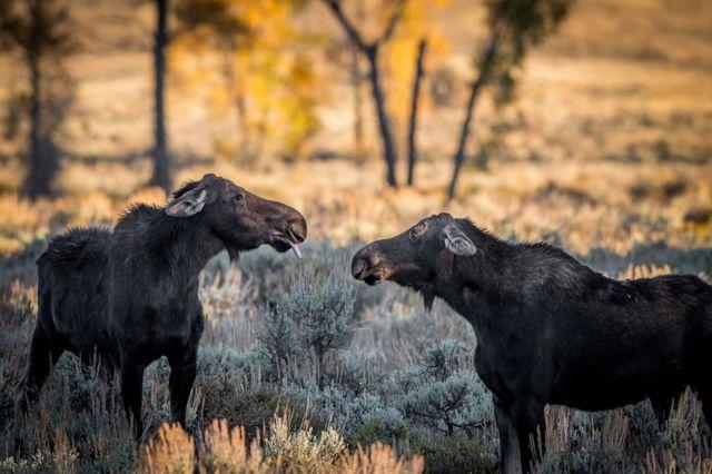 옆 친구에게 메롱하며 야유(?)를 보내는 사슴과 동물 무스. 미국 와이오밍에서 바니 코즈잘카가 촬영했다