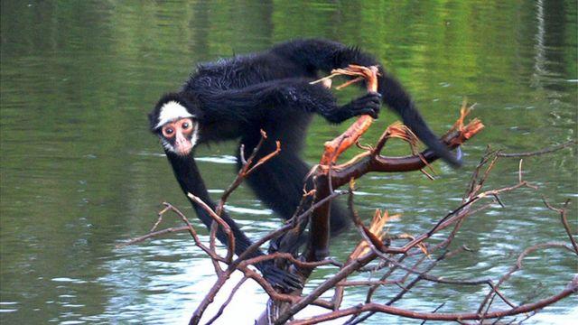 Macaco-aranha-de-cara-branca perto de rio