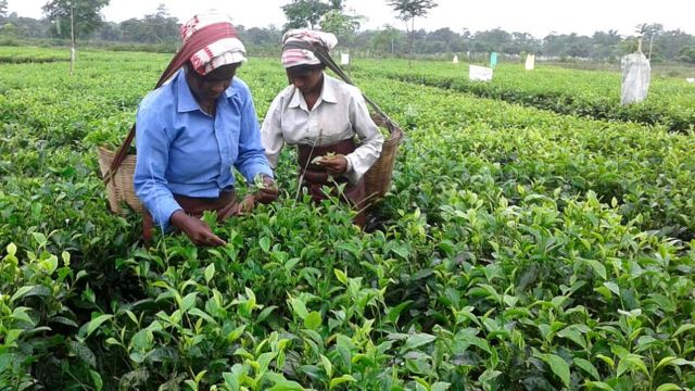 चाय का बाग़ान