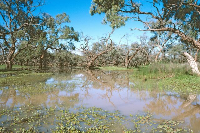 A box swamp in the far northwest of New South Wales with nardoo (Marsilea drummondii) floating in the foreground