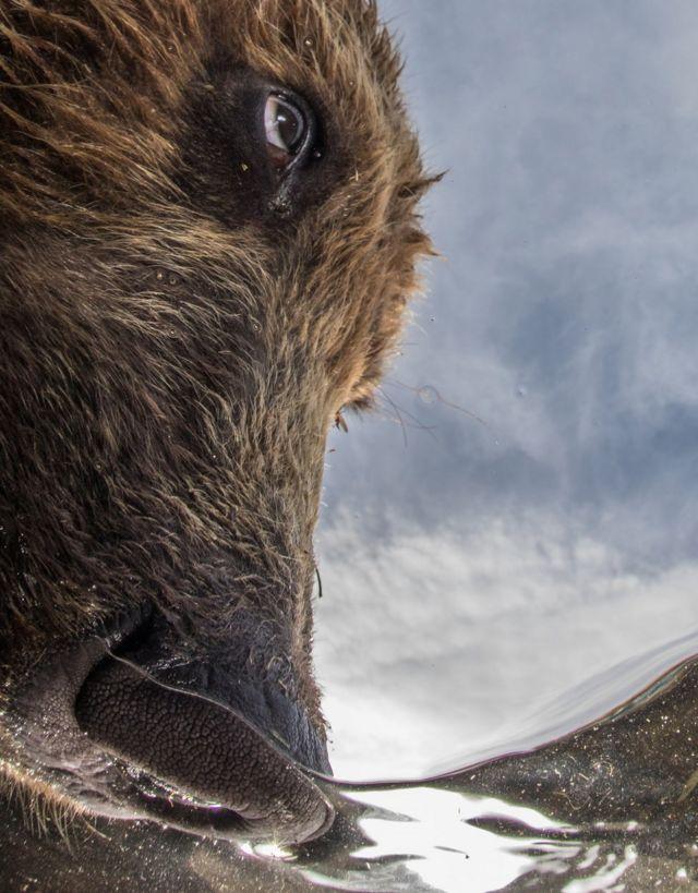 Медведь охотится на лосося в озере