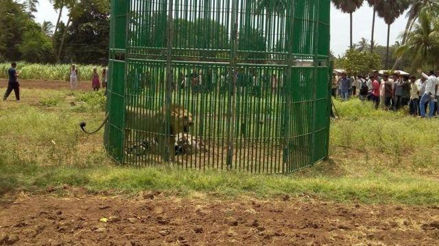 Leão capturado