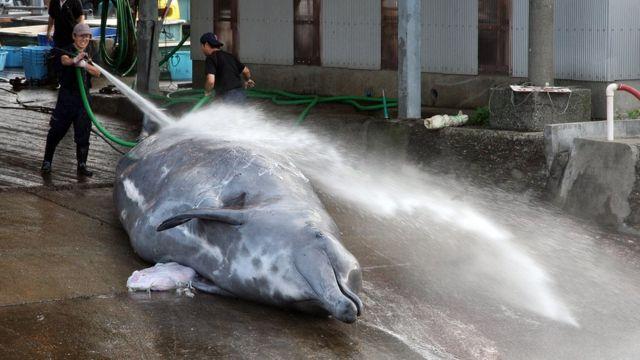 Kıyılardaki balina avcılığı çok daha küçük gemilerle düzenleniyor ve daha az balina avlanıyor