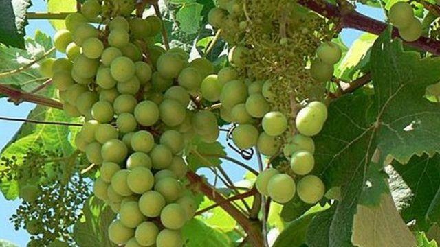 द्राक्ष