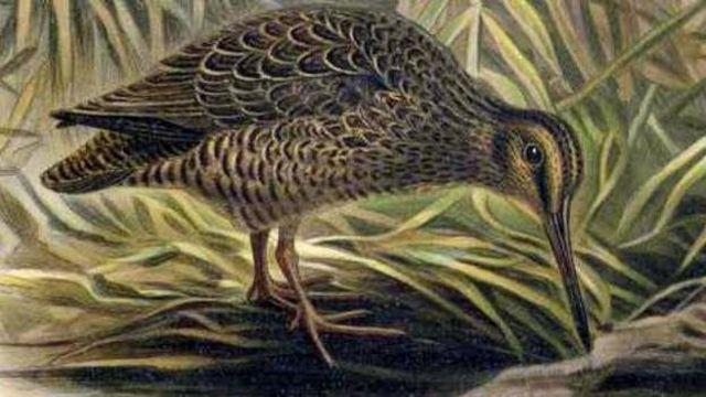 'Suara Hakawai' terdengar saat burung snipe terbang di malam hari