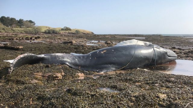 'Drowned' whale washes up on beach in East Lothian