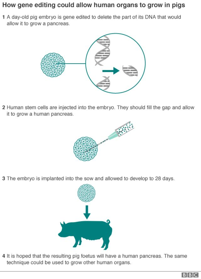 Human-pig 'chimera embryos' detailed