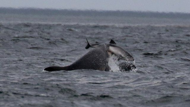 Dolphin attacking a porpoise