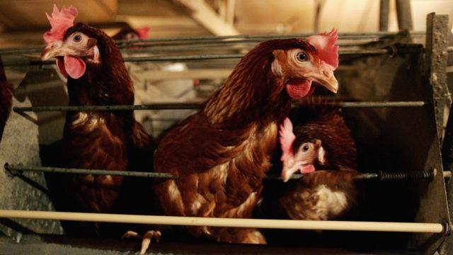 Grippe aviaire: plusieurs pays interdisent les volailles sud-africaines