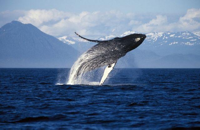 Baleia-jubarte no Alasca