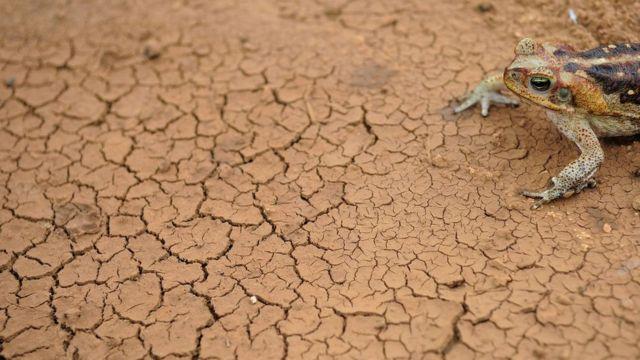 Sapo cururu em solo rachado pela seca