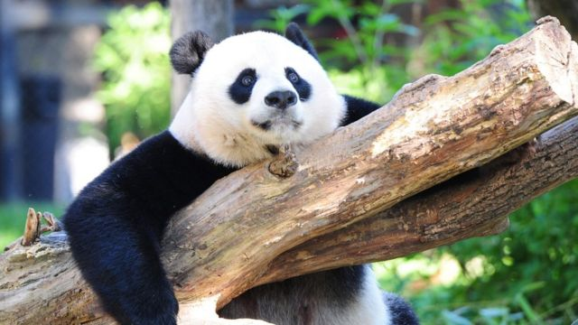 米ワシントンのスミソニアン国立動物園にいるメイシャン(8月24日)
