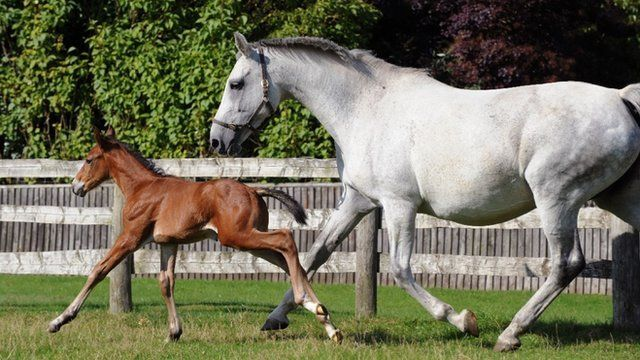 IVF foal and surrogate mare (c) University of Liverpool