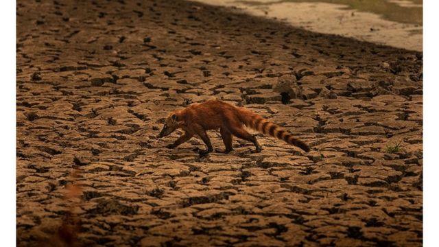 Quati caminha por região seca