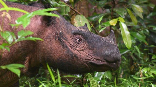 badak, badak Sumatra, Ipuh