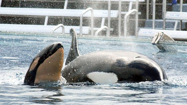 Orcas en SeaWorld