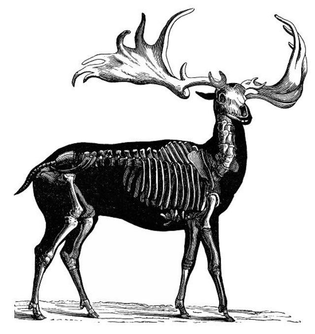 爱尔兰麋鹿画像