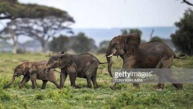 Les défenseurs des espèces protégés craignent que les éléphanteaux transférés en chine soient traumatisés
