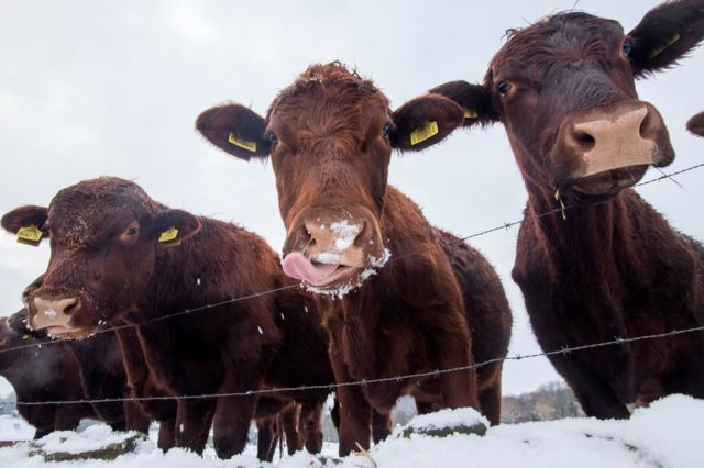 Три коровы в снегу