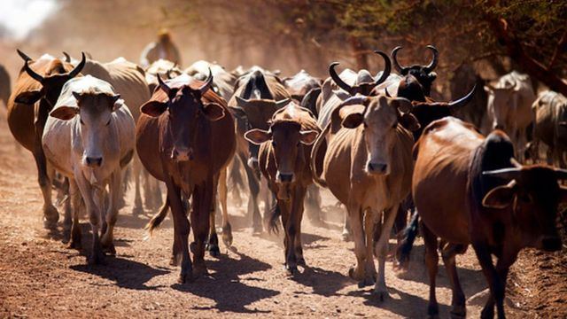 Cattle traders from the Misseryia area in Abyei region migrate from north on December 18, 2016.