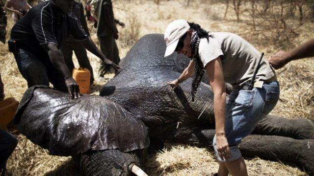 Le personnel d'African Parks prépare un éléphant a Zakouma le 23 février 2014. Une fois sous sédatif, l'éléphant est équipé d'un collier radio qui relèvera à l'avenir sa position, augmentant les chances de le protéger contre les braconniers
