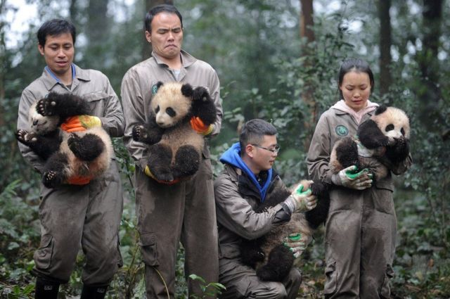 باحثون صينيون يحملون صغار الباندا