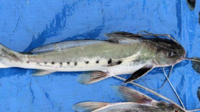 Mota, pez carroñero Foto: Wiki Commons