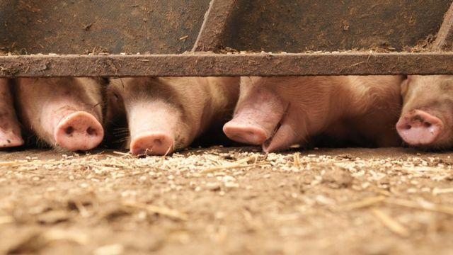 Hocicos de cerdos en un establecimiento ganadero