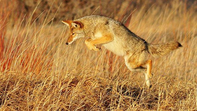 حیوانات وحشی مثل این کایوتی - نوعی گرگ کوچک جثه - از نظر اییپیای آفات مزارع و دامداریها شناسایی شده