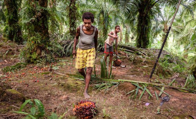 Trabalhadores em uma das plantações de óleo de palma de Korindo colhendo os frutos da palma de óleo