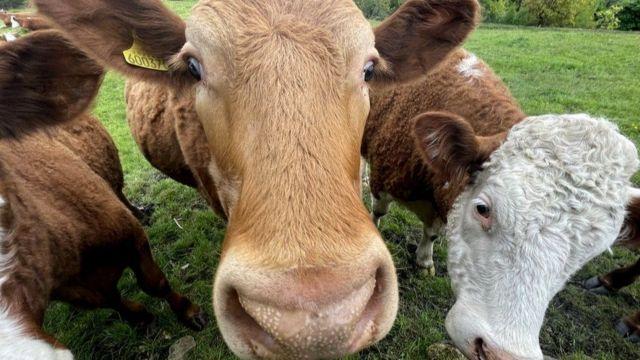 Yerel besicilik ürünlerinin çevreye etkisi, ithal edilmiş etten çok daha düşük