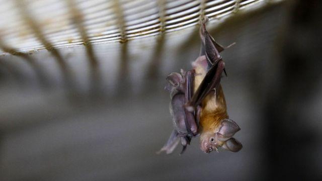 Murciélago de herradura colgando de una red