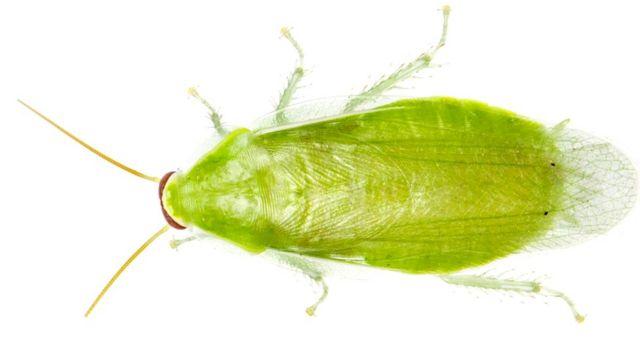 Банановый таракан (Panchlora sp.)