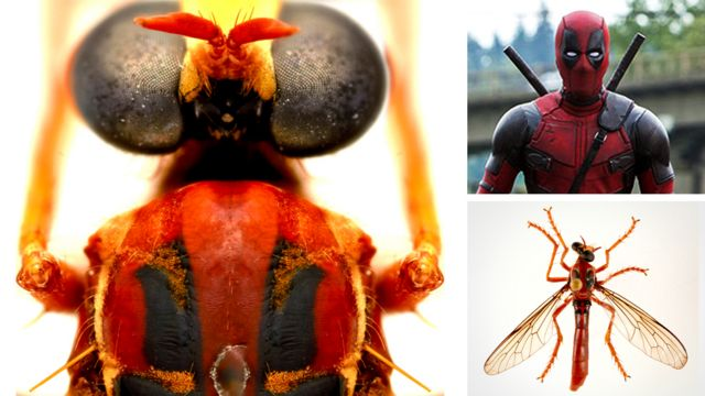The Deadpool fly, or Humorolethalis sergius - from the Latin for wet or moist and dead