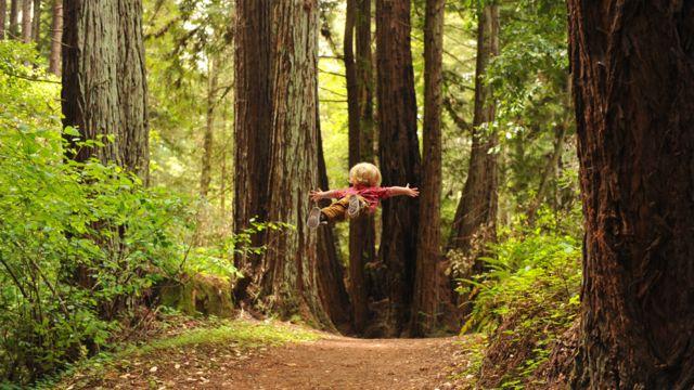 Wil volando entre árboles en el claro de bosque de gigantescas secoyas