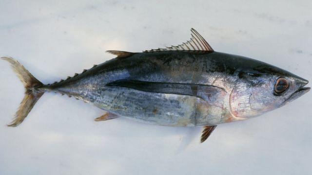 すしのネタとして代表的なクロマグロの料理にはキハダマグロが代用されていた