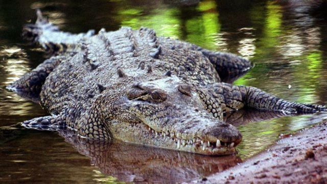 Квинслендский крокодил