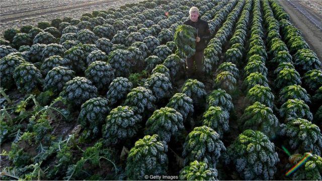 德國的一個羽衣甘藍農場