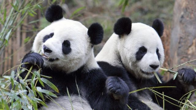 Panda, Cina