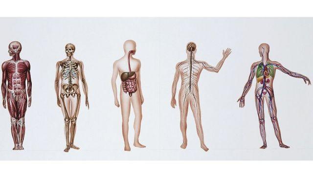 Ilustración que muestra diferentes sistemas internos del cuerpo humano.