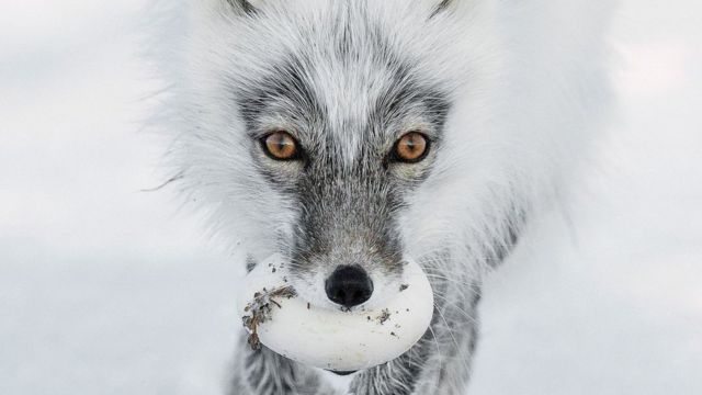 An Arctic fox carries its prize egg after raiding a snow goose nest on Wrangel Island in Russia.