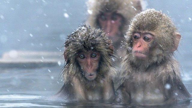 बर्फ़, बंदर