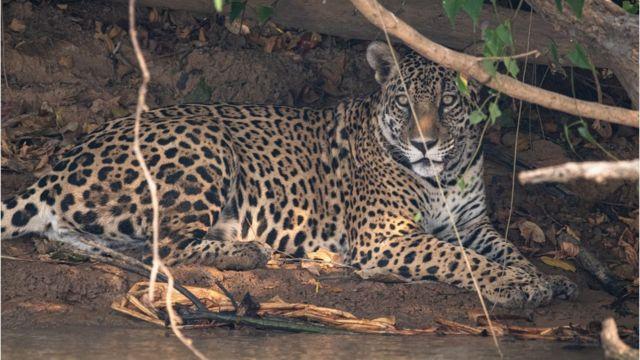 Onça-pintada no Pantanal