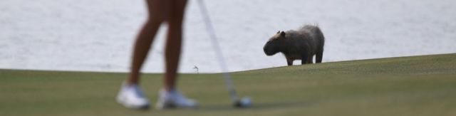 a capybara in focus, just behind a woman with a golf club, 19 August 2016