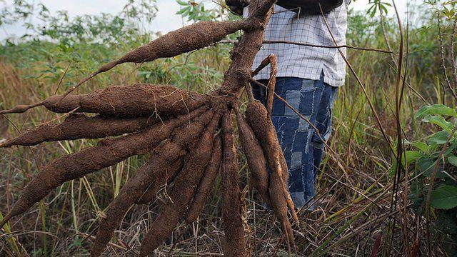 Fresh cassava wey man dey hold